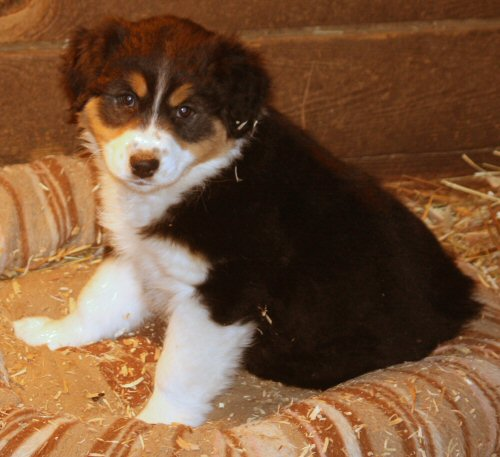 australian shepherd breeder Maryland